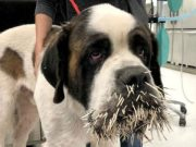 St Bernard tried to be friendly with Porcupine